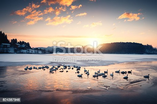 Large group of swans and ducks swimming on frozen lake (Šmartinsko lake, Celje, Slovenia).