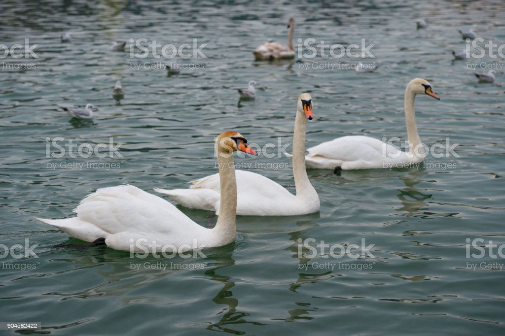 Group of Swans In The River stock photo