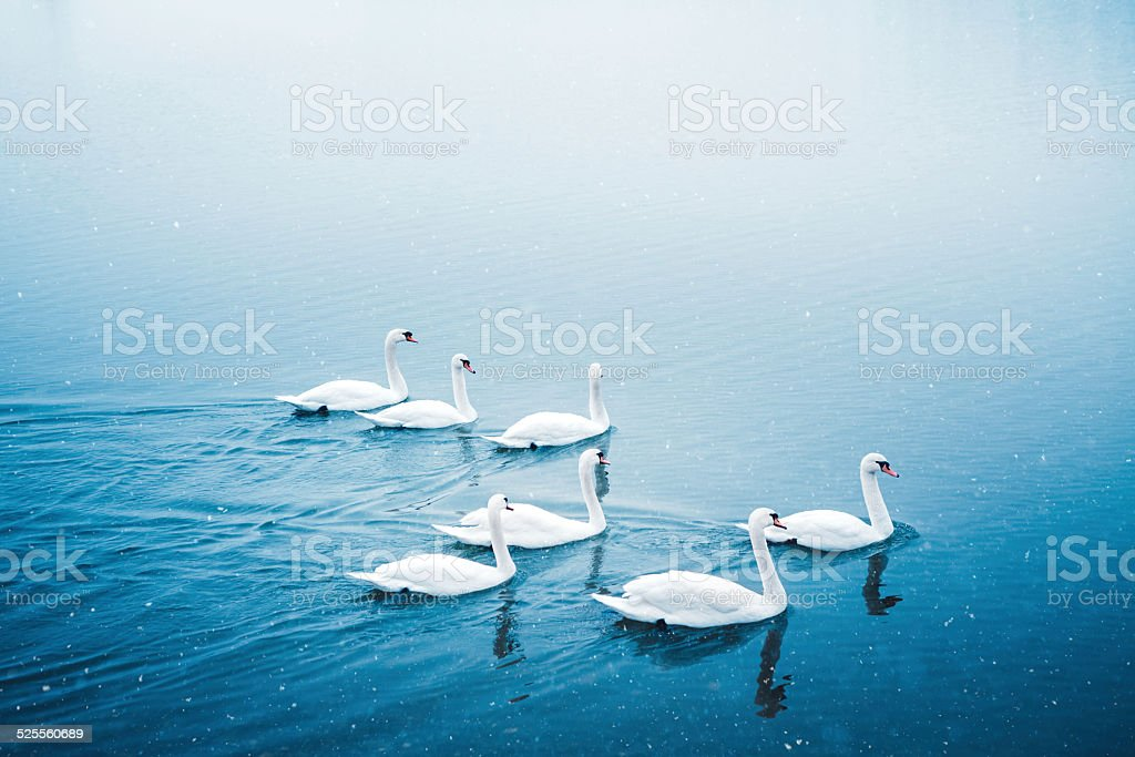 Group Of Swans In Winter stock photo