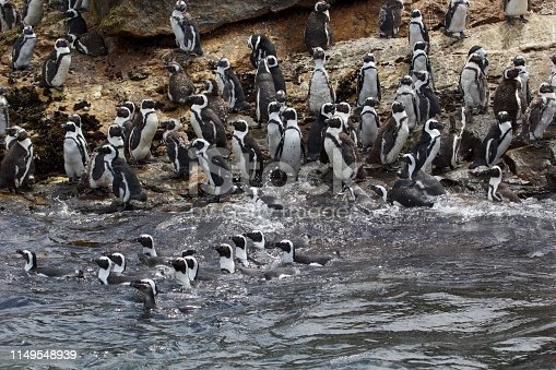 Group of swimming penguins at St. Croix