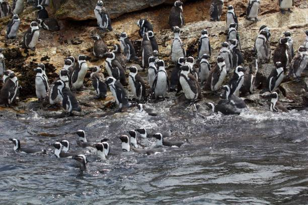Group of swimming penguins stock photo