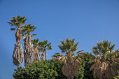 Group of tall palm trees against a blue sky