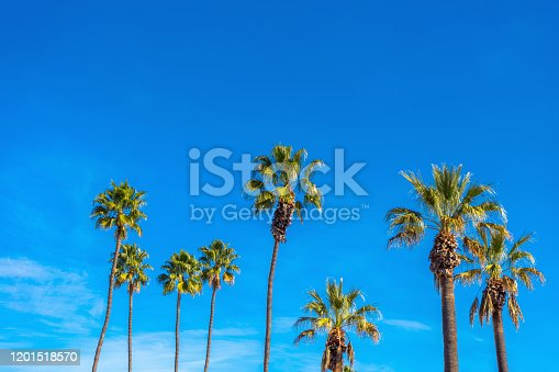 Group of tall palm trees with blues sky.