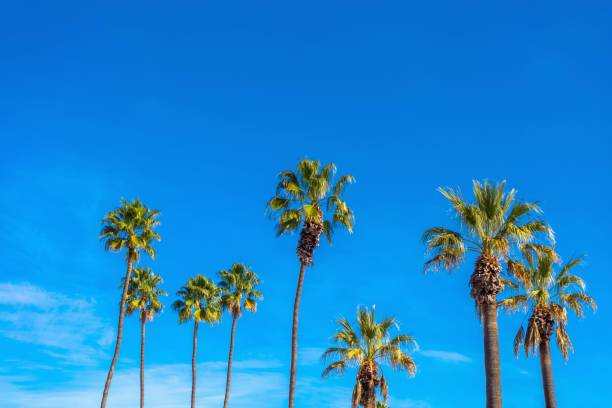Group of tall palm trees with blues sky. stock photo