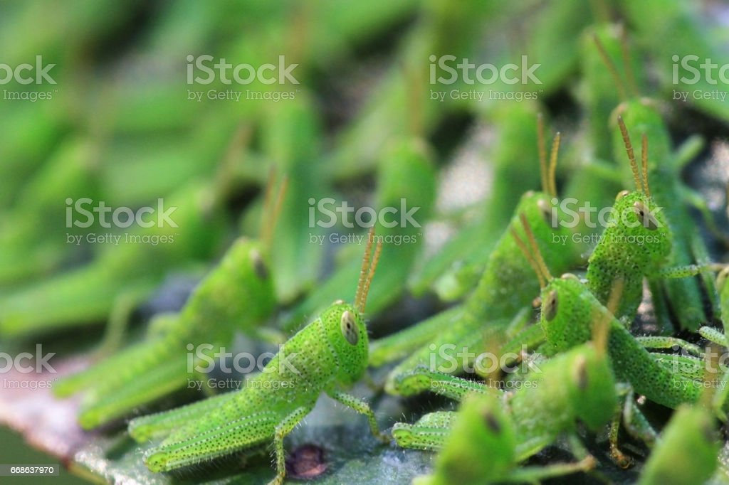 group of the baby Grasshoppers are insects stock photo