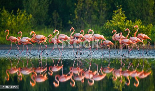 Group of the Caribbean flamingo standing in water with reflection. Cuba. Reserve Rio Maximа