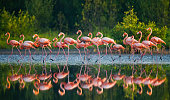 Group of the Caribbean flamingo standing in water with reflection.