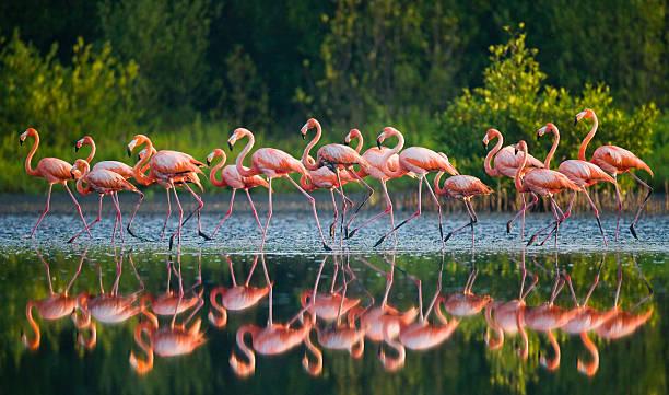 группа карибского бассейна в виде фламинго, стоя в воде с отражением. - заповедник дикой природы стоковые фото и изображения