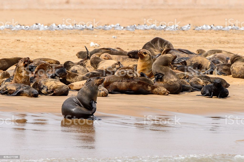 Group of the Sea lions on the coast of the Atlantic Ocean, Namibia stock photo