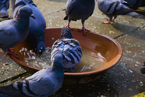 Group of thirsty pigeon drinking water