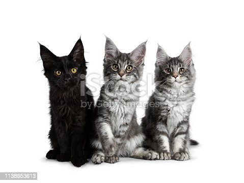 824824466 istock photo Group of three blue tabby / black solid Maine Coon cat kittens, sitting up in perfect line. Looking straight to lens with bright eyes. Isolated on white background. 1138653613