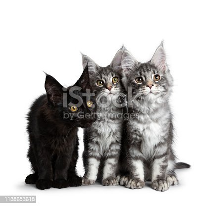824824466 istock photo Group of three blue tabby / black solid Maine Coon cat kittens, sitting up in perfect line with heads together. Looking curious above lens with bright eyes. Isolated on white background. 1138653618