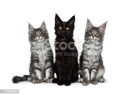 824824466 istock photo Group of three blue tabby / black solid Maine Coon cat kittens, sitting up in perfect line. Looking above lens with bright eyes. Isolated on white background. 1138653643