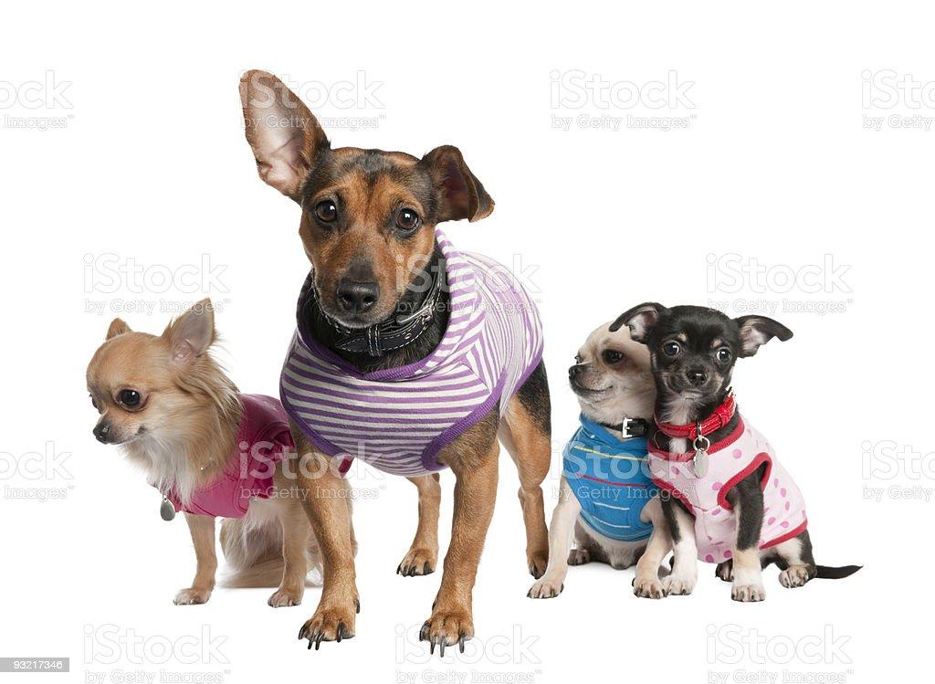 Group of three chihuahua and a bastard royalty-free stock photo