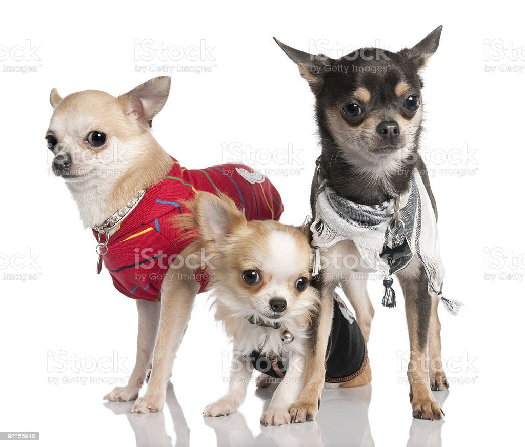 Group of three chihuahua royalty-free stock photo