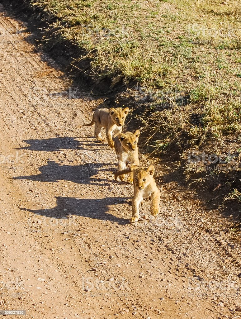 Group of three cute lion cubs at Serengeti National Park stock photo