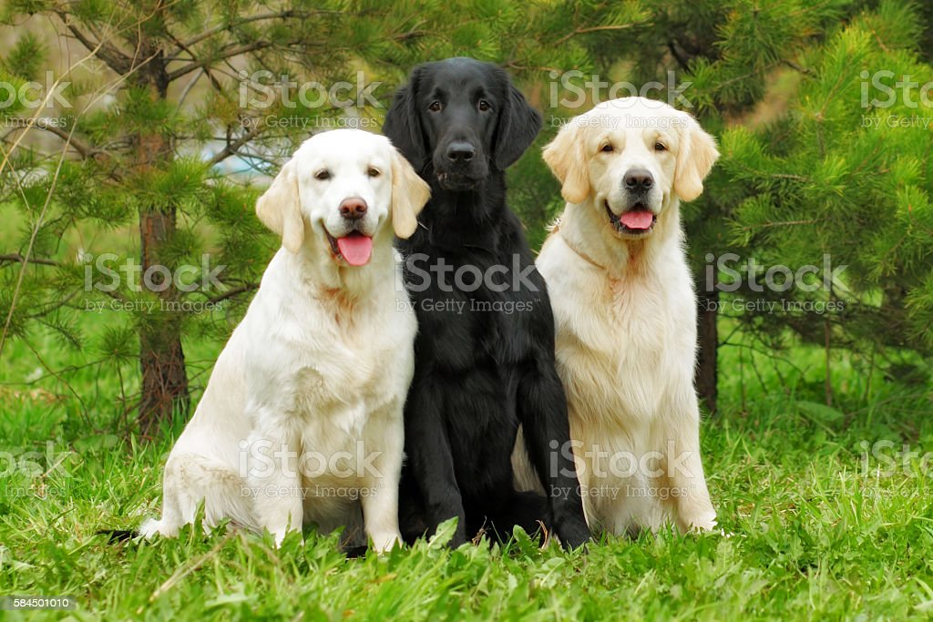 group of three dogs - flat-coated Retriever and two Golden stock photo