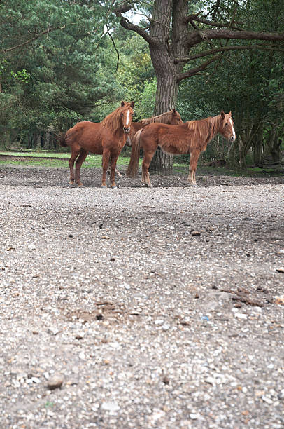 group of three horses in the new forest landscape, england stock photo