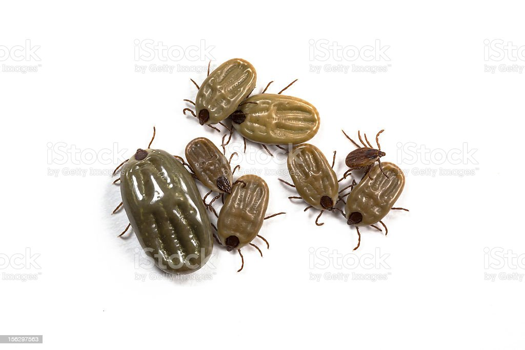 Group of tick isolated on white stock photo