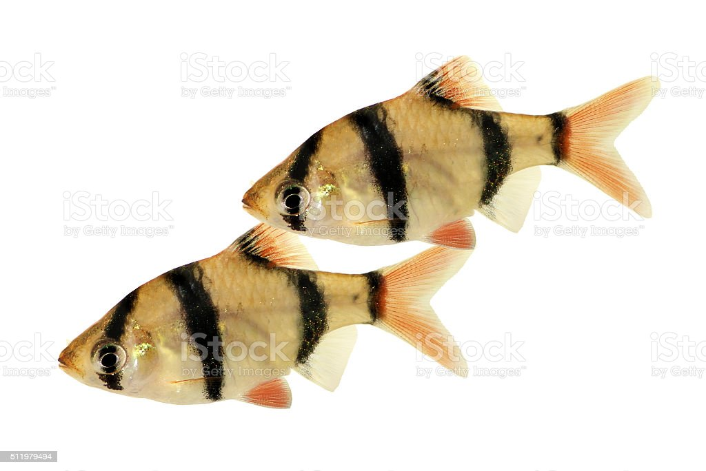 Group of Tiger barb or Sumatra barb Puntius tetrazona tropical aquarium stock photo