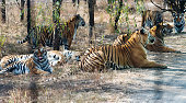 Group of tigers lying on the ground