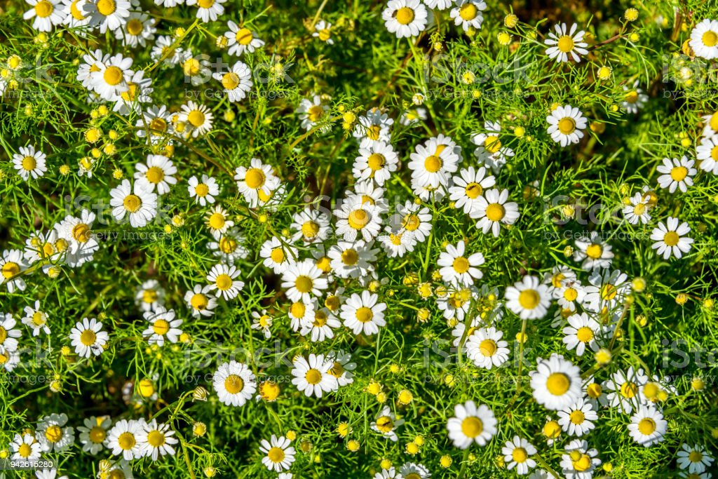 Group of Tiny Daisy Wildflowers stock photo