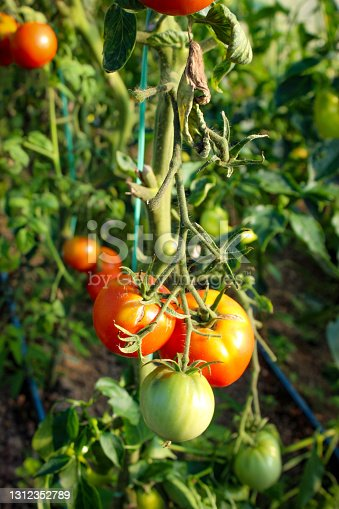 A group of tomatoes that started to turn red. Growing tomatoes in a greenhouse. Tomato fruits.