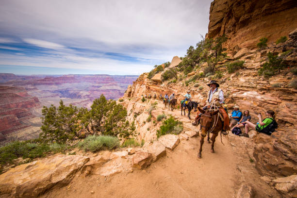 a group of tourists are riding horses on the canyon. - grand canyon national park stock photos and pictures