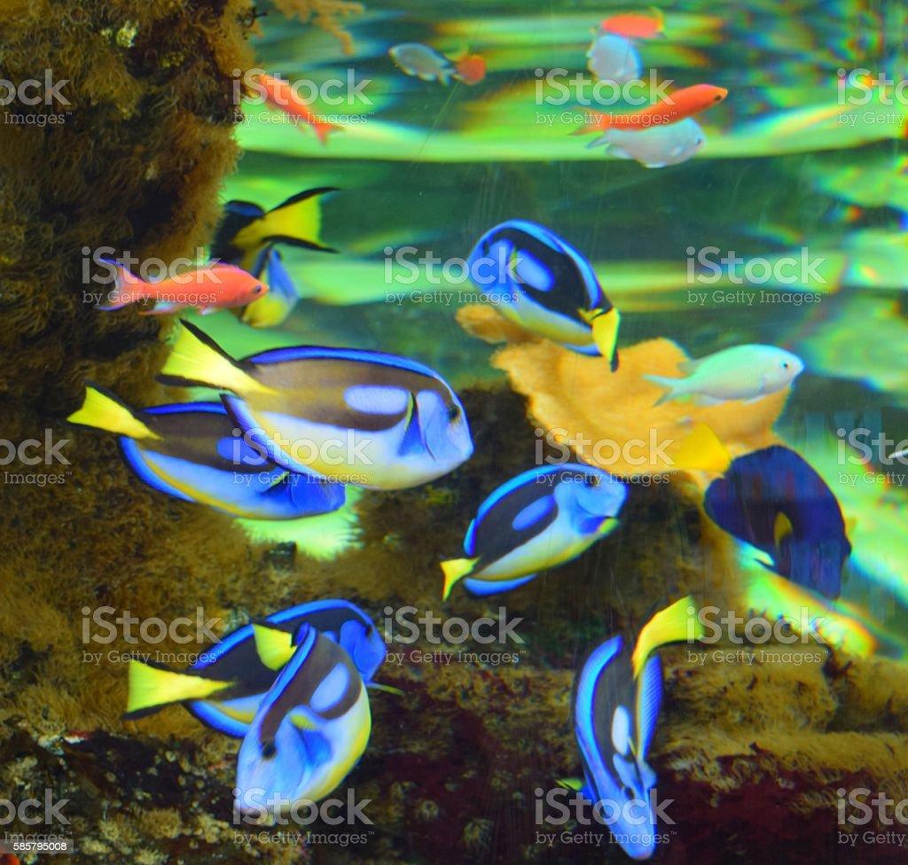 group of tropical fish regal blue tangfish in fish tank stock