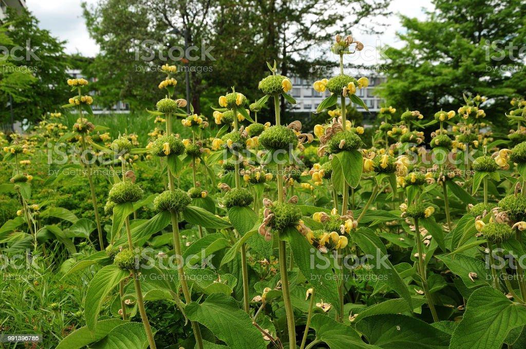 Gruppe von türkischen Salbei Pflanzen im öffentlichen park – Foto