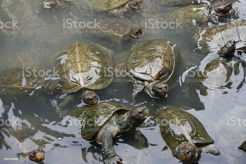 Group of Turtles royalty-free stock photo