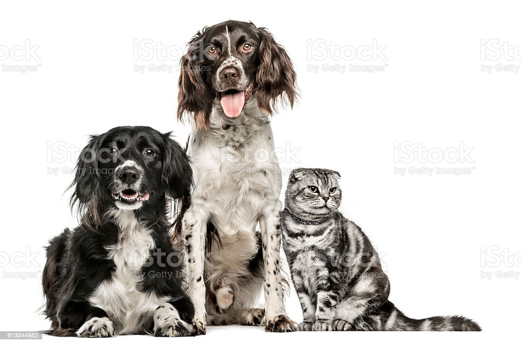 Group of two dogs and a Scottish Fold stock photo