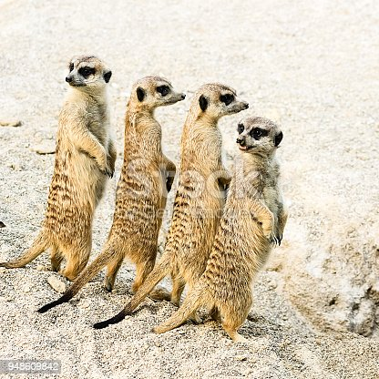 Group of upset meerkats looking where the danger comes from.