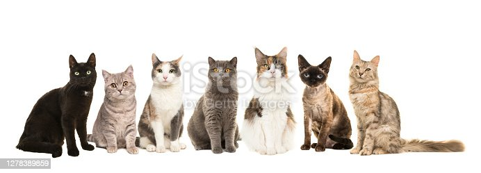 Group of various breeds of cats sitting next to each other looking at the camera isolated on a white background