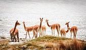 Group of vicunas (Vicugna vicugna) in the Salar de Surire, Isluga Volcano National Park located more than 4500 meters, in the region of Arica and Parinacota, north of Chile