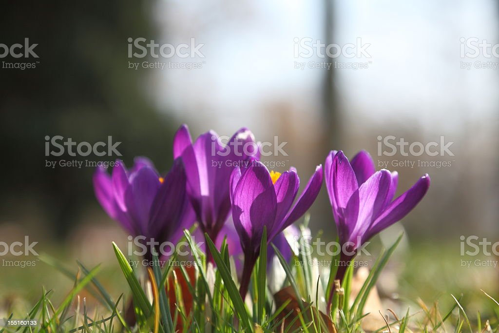 group of violet crocus in spring royalty-free stock photo