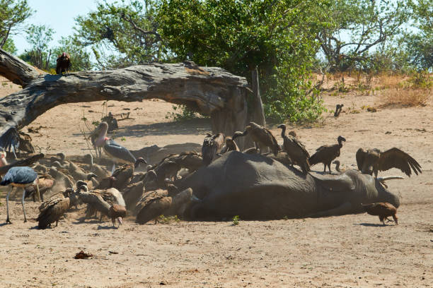 A group of vultures on a dead elephant stock photo