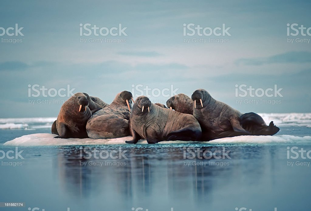 Group of walruses on an iceberg in the Canadian Arctic stock photo