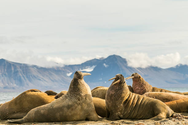 Groupe de morses sur Prins Karls Forland, Svalbard - Photo