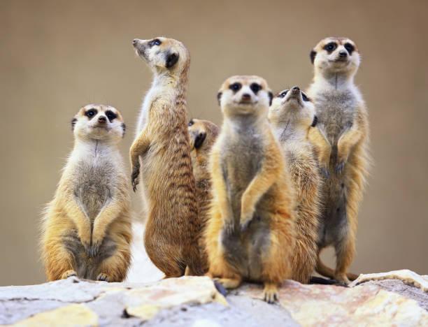 group of watching surricatas outdoor - meerkat stock photos and pictures