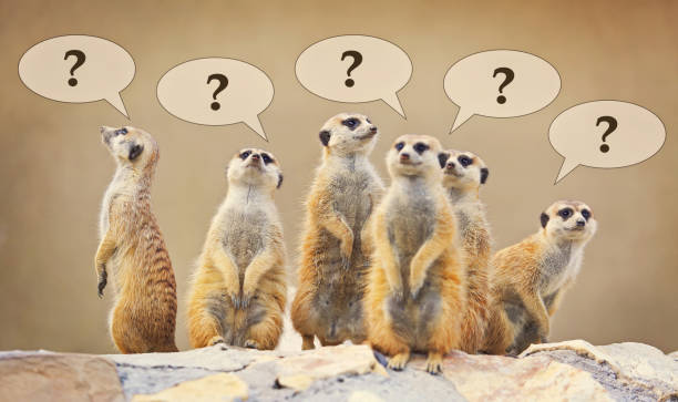 Group of watching surricatas with question marks stock photo