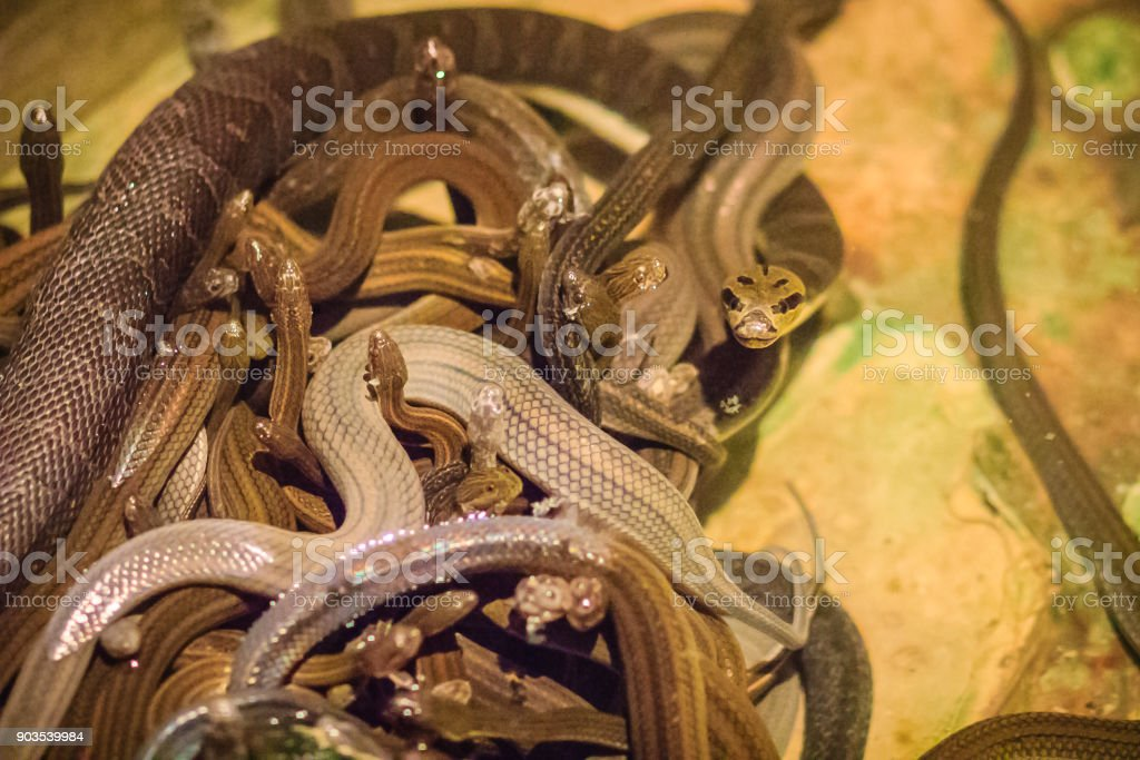 Group of water snakes (Homalopsidae) and their common name are water snakes, Indo-Australian water snakes, mud snakes, bockadam, ular air, and all are mildly venomous. stock photo