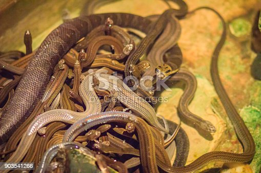 istock Group of water snakes (Homalopsidae) and their common name are water snakes, Indo-Australian water snakes, mud snakes, bockadam, ular air, and all are mildly venomous. 903541266