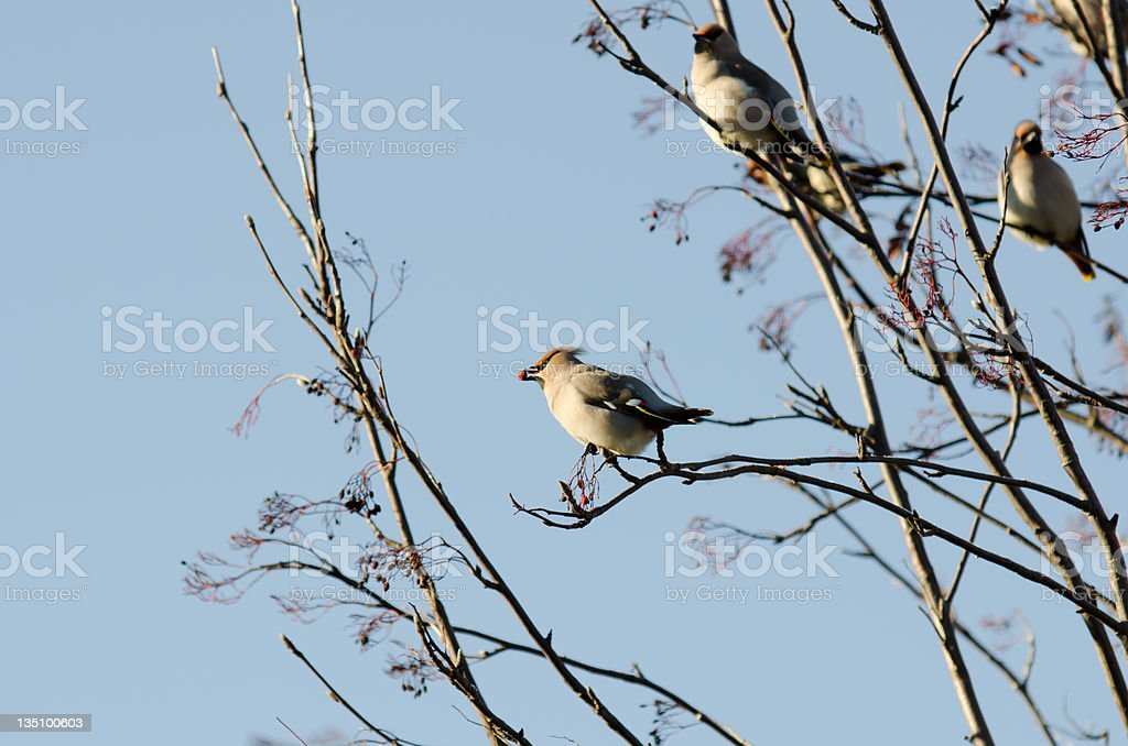 Group of waxwings sits on a tree royalty-free stock photo