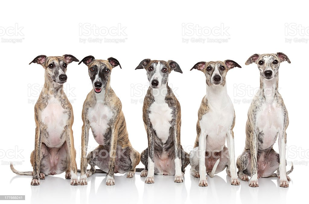 Group of whippets sits on a white background stock photo