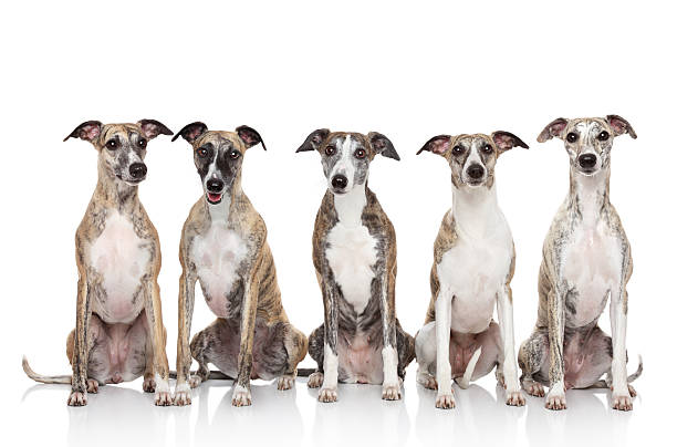 Group of whippets sits on a white background  whippet stock pictures, royalty-free photos & images