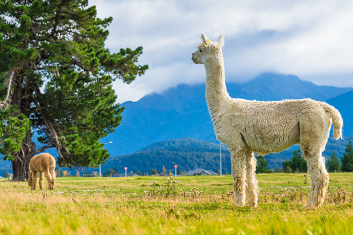 Group of White alpaca in south island New Zealand
