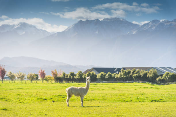 Group of White alpaca in south island New Zealand with nature landscape background stock photo