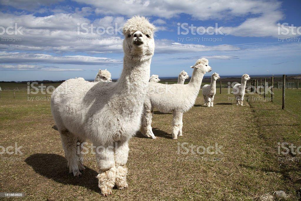 Group of White Alpacas stock photo