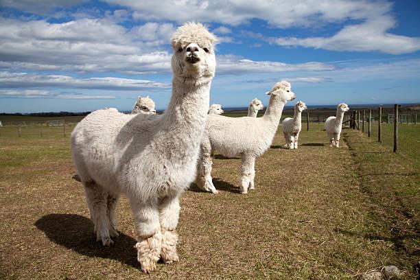 grupo de blanco alpacas - alpaca fotografías e imágenes de stock